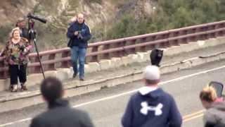 Yellowstone, les ours font fuir les promeneurs