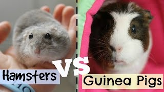 Hello everybody! Today's video is all about hamsters VS guinea pigs as pets! I sum up the pros and cons of both and even share which one I prefer right at the ...