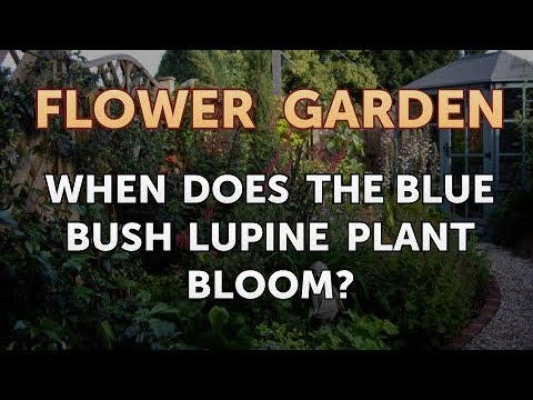 When Does the Blue Bush Lupine Plant Bloom?