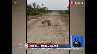 Video Teror Harimau Sumatera di Perkebunan Kelapa Sawit Riau yang Terkam Warga - BIS 13/01 MP3, 3GP, MP4, WEBM, AVI, FLV Agustus 2018