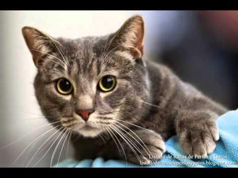 Gato (maullido)- Efecto de sonido
