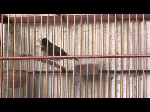 Galeria de Vídeos Coleiro Buriti separado para roda 2014