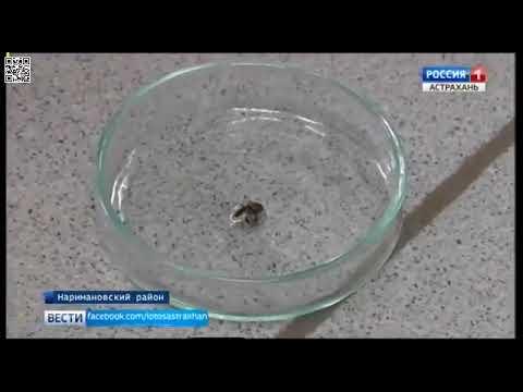 Об установке феромонных ловушек на карантинного вредителя - дынной мухи в Астраханской области