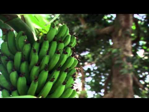 La banana estinta