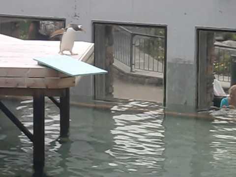 企鵝不敢跳水?!在猶豫好久之後牠的決定是…