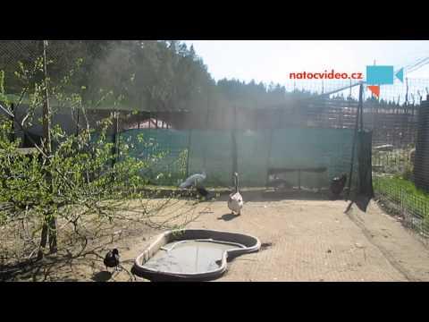 Husa africká, kachna smaragdová a páv bílý zoopark Dvorec u Borovan 19.4.2015