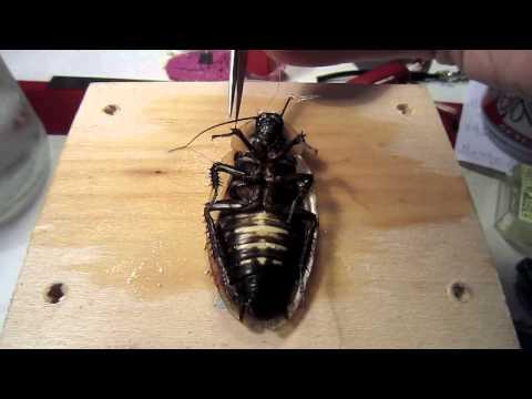 他從冰水裡拿出一隻活蟑螂擺在板子上,接著就做出大家此生第一次看的驚奇手術!