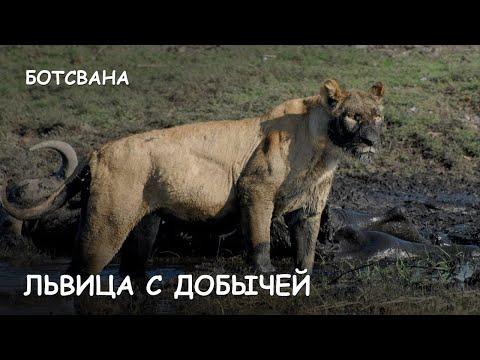 Мир Приключений - Львица с добычей. Нац. парк Чобе. Ботсвана. Lioness attack. Chobe National park. (видео)
