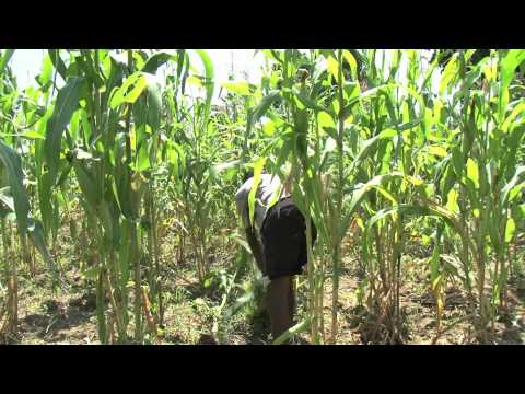 Cassava Revolution in Africa : Part 2