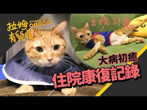 ►拉姆有幾噗◄ 貓老大住院返家 小弟竟認不得!食道胃管居家使用┃The cat has just recovered from a serious illness ♧