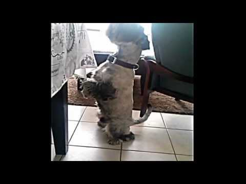 Funny Dog, Schnauzer Zami Begging, Playing, Moaning.