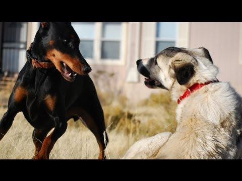 KANGAL - My Doberman plays HARD and doesn't stop. Best breed in the world! No dogs were harmed in this video. They just love to play, play, play! Make sure to check o...