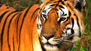 Hunting Lesson for the Tiger Cubs - David Attenborough - Tiger - Spy in the Jungle - BBC full download video download mp3 download music download