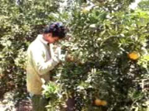24colhendo laranja em presidente olegario
