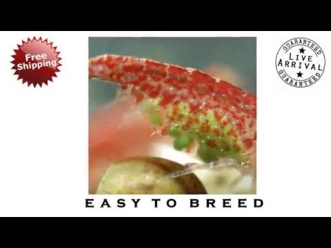 Red Cherry Shrimp – The Shrimp Farm