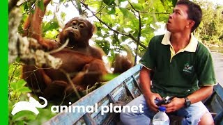 Search Party Tries To Locate Missing Orangutan | Orangutan Island by Animal Planet
