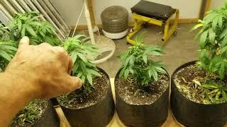 Sexing Marijuana Seedlings by Medically Fit