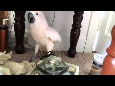 Cockatoo doesn't want to go to vet. Channels Satan.