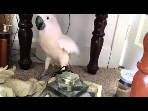 pappagallo non vuole andare dal veterinario! guardate cosa fa!