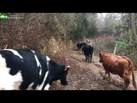 Vacas rescatadas acuden a comer cuando las llaman