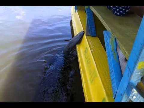 Peixe boi no Rio Tatuamunha, em Porto de Pedras, Alagoas [Janeiro 2015]