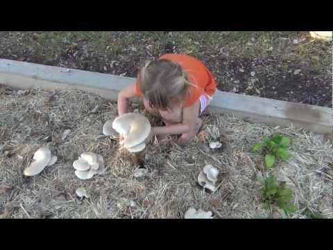 How to Grow Massive Oyster Mushrooms in Your Straw Garden, Part 1
