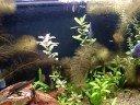 Meu aquário plantado