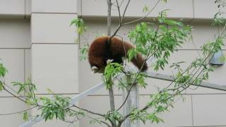 Fukuchiyama Japan  city photos gallery : #8 Oct 2016 Red Panda at Fukuchiyama zoo, Kyoto, Japan