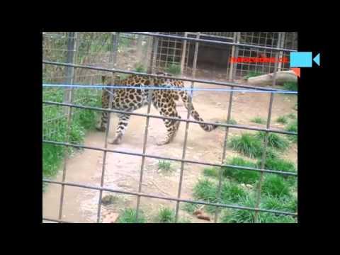 Levhart skvrnitý v zoo Dvorec u Borovan 16.4.2016