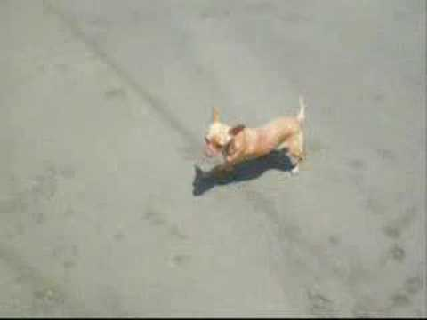 Chihuahua Swimming