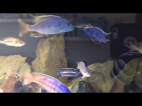 Nimbochromis Fuscoteaniatus vs Scieanochromis Fryeri Ahli