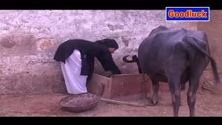 मस्त घरवाली  Dehati Drama Haryanvi short film ~ Goodluck Media