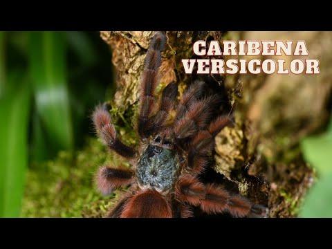 Caribena versicolor - opis gatunkowy | arent.pl
