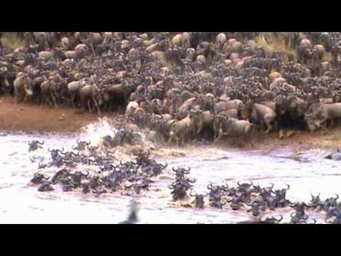 Wildebeests - They had wanted to cross all day, and by 5-o-clock PM they finally did.