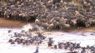 WILDBEEST MIGRATION IN MASAI MARA. (Video courtesy of Phalanx47)