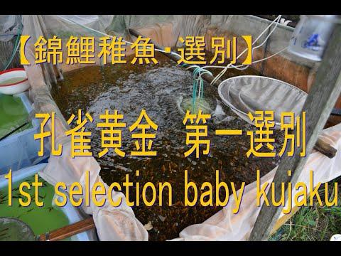 光り物錦鯉の稚魚の池上げと選別 Keihan Koi Farm