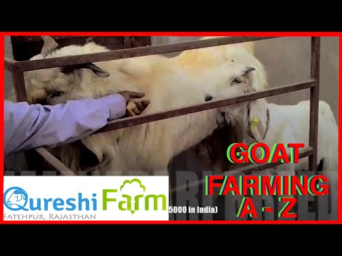 rajasthan goat farming - How to start a goat farm? How to manage a goat farm? What are the shed requirements? Infrastructure requirements? Which breed is best for me? Akbar Khan Qure...