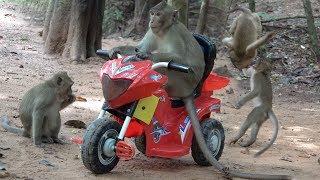Khmer  - សត្វស្វានៅអង្គ&#