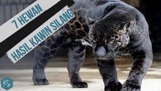 Download Video Perkawinan Jaguar Dan Singa!! INILAH 7 HEWAN HASIL KAWIN SILANG MP3 3GP MP4