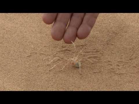 Pavouci žijí i na Sahaře