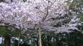 Ehime Japan  City new picture : Hanami (Cherry Blossom Flower Picnic Party!) Ehime Japan