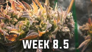 Youngblood's Switch LED Grow Tent Update (Week 8.5 Flower) by Urban Grower