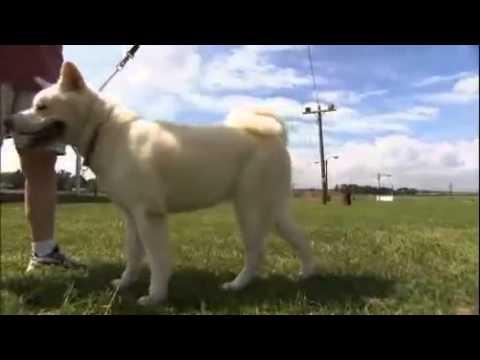 dogs 101 - Akita (видео)