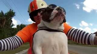 Sweets the English Bulldog see's a biker wave at us and she waves back ALL ON HER OWN!!! - YouTube