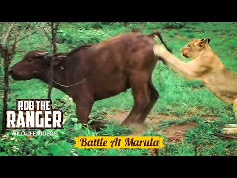 BATTLE AT IDUBE (Lions vs Buffalo) (HD)