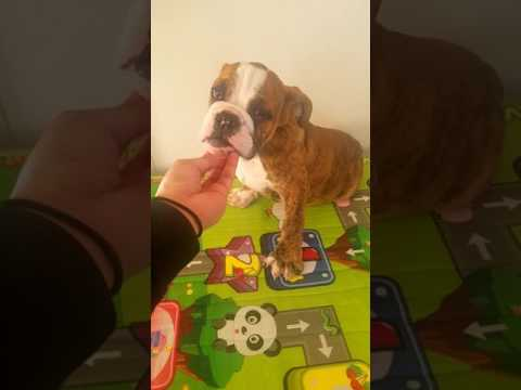 ROGER English Bulldog Puppy 14 weeks