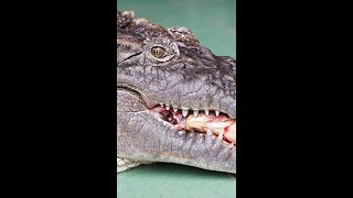 Our Family Pet Is A HUGE CROC (Vertical Video) by Barcroft Animals