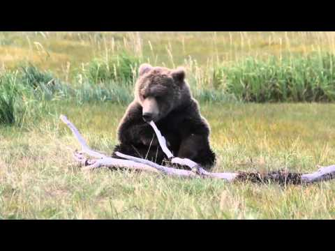 Brown Bears Playing With Sticks in Katmai