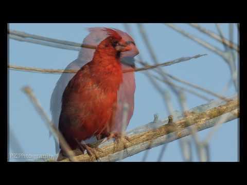 Northern Cardinal and Brewer's Blackbird (Sigma 500mm F/4.5 EX HSM APO lens + Nikon FT-1)