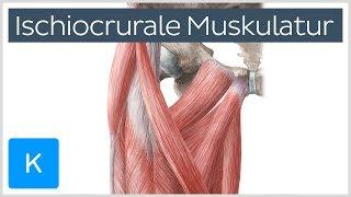 Video Ischiocrurale Muskulatur - Anatomie des Menschen | Kenhub MP3, 3GP, MP4, WEBM, AVI, FLV Juli 2018